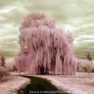 infrared pink silly string tree (by paul cobleigh photography)
