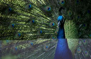 in traditional lore the peacock signifies openness and acceptance.