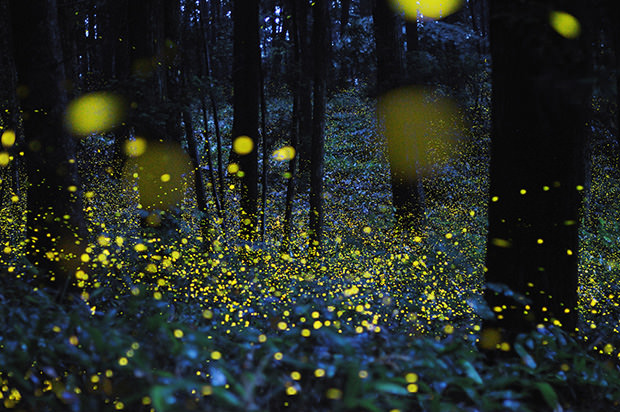fireflies: scattered stardust searching for home.  (source: petapixel)
